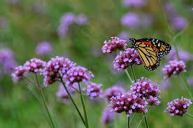 native plants illinois save the monarch butterfly plant milkweed chicago tonight wttw