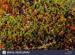 100 cape cod cranberry bogs cranberry bog frogs 8oz kandy