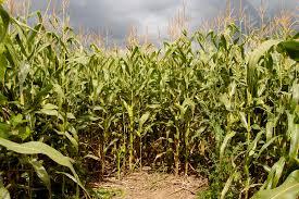 corn mazes and pumpkin patches in raleigh durham