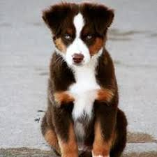south carolina australian shepherd rescue more fun photos quality aussies australian shepherd