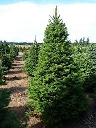 learn about trees at thorntons u0027 treeland christmas tree farm