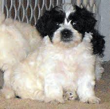 bichon frise shih tzu mix for sale toy hybrid registered teddy bear puppy
