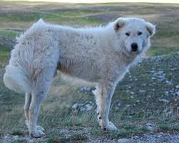 australian shepherd wolf maremma sheepdog wikipedia