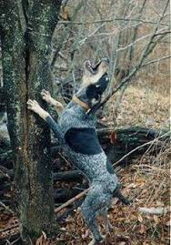 bluetick coonhound climbing tree red tick coonhound english coonhound information pictures of