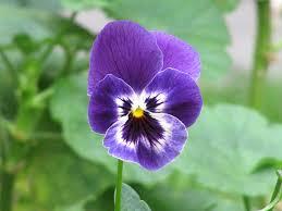 purple flower file purple flower pensamiento viola wittrockiana jpg