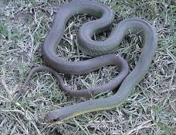 Found A Snake In My Backyard Meet The Snakes Of Oregon Photos Oregonlive Com