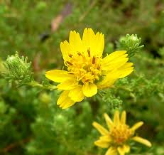 tarweed native plants deinandra wikipedia