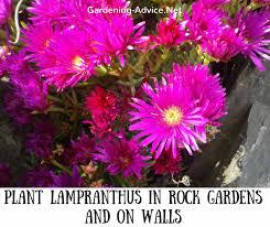 planting a rock garden 7 alpines for coastal gardens