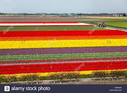 Netherlands Tulip Fields Netherlands Lisse Tulip Fields High Angle View From Keukenhof