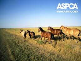 against horse slaughter images aspca horse wallpaper hd wallpaper