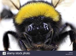 bumble bee cut out stock photos u0026 bumble bee cut out stock images