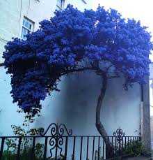 a strange lonely blue tree flowering trees lonely and app