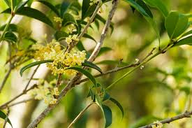the fragrant tea olive tree is a gardener s delight enlighten me