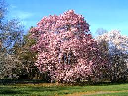 the beautiful magnolia trees