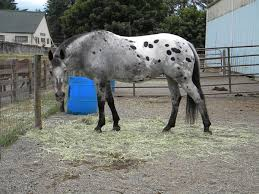 grey appy love the color horses pinterest horses blue
