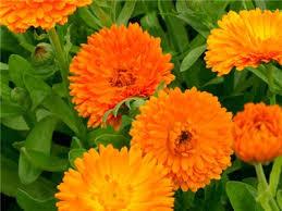calendula flowers orange king calendula seeds baker creek heirloom seeds