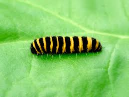 pictures of a caterpillar wallpaper download cucumberpress com