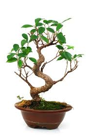 the golden gate ficus bonsai is grown for the attractive gray trunk