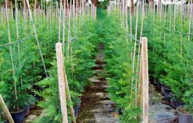 cupressus outdoor ornamental plants buy popular outdoor plants
