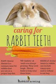 rabbit food rabbit food for my bunny teeth
