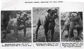 american pitbull terrier gator history of watchdog pit bull bloodline good pit bulls