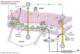 The Amount Of Light And Temperature Are Examples Of Photosynthesis Importance Process U0026 Reactions Britannica Com