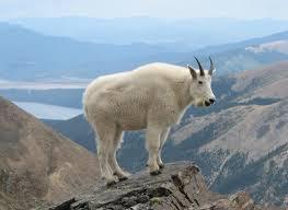 yellowstone wildlife spotlight mountain goat