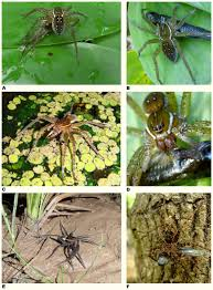 spiders catch and eat fish says new study biology sci news com