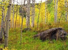 sad fate in store for rocky mountain aspens treehugger