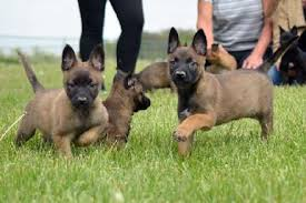 belgian sheepdog for sale in texas our dutch shepherds earn their stripes dutch shepherd puppies