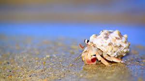 hermit crab seo