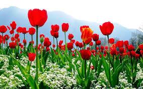 wallpaper bunga tulip gambar tanaman hias bunga tulip places to visit pinterest