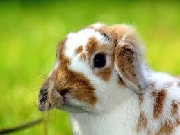 baby bunny background for desktop u2013 wallpapercraft