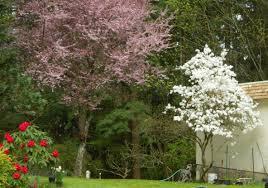 magnolia 1005klahanie