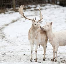 best 25 white reindeer ideas on what is a stag
