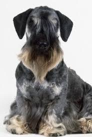 wszystko o bichon frise dandie dinmont terrier dog breed information dandie dinmont