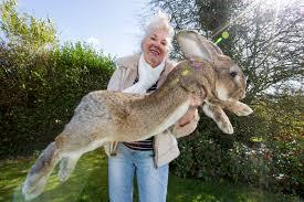 one of world u0027s biggest bunnies dies aboard united flight new
