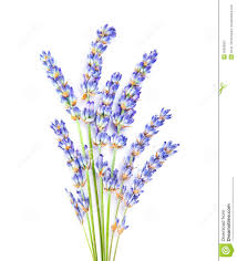 top 92 lavender flower clip art best clipart blog