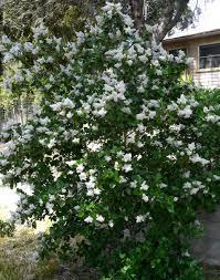southern california lilacs ceanothus spp