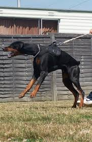 belgian shepherd vs doberman five best personal protection dog breeds pethelpful