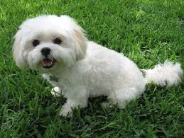 bichon frise years 107 best poodles u0026 bichon frise images on pinterest animals