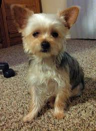 lookin sharp with his new haircut chorkie chorkie pinterest