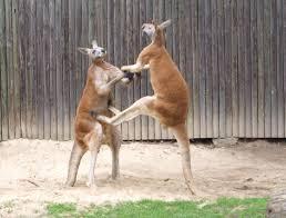 kangaroos fighting kangaroo battles youtube
