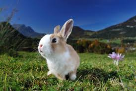 bunny easter where does the easter bunny come from and why do we eat chocolate