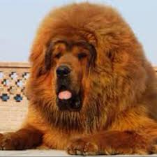lion dogs 28 best lion dog images on animals animals and