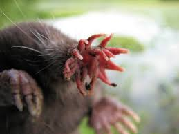 Moles Blind The World U0027s Ugliest Animals