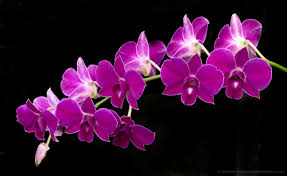 dendrobium orchids lynne horiuchi dendrobium orchid 2016 patty hankinslynne