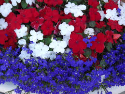camissonia u0027s ca native plant delphinium spp hooray for the red white and blue patriotic