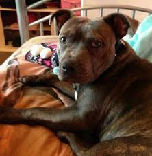 american pitbull terrier gumtree blue brindle staffordshire bull terrier 1 year old in norwich