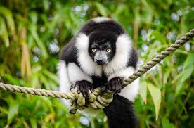 free photo black white lemur madagascar free image